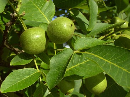 walnut tree: walnut tree