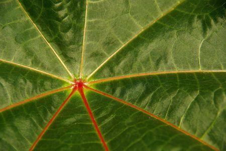 castor: castor oil plant