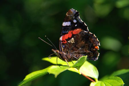 admiral: Red Admiral  Stock Photo