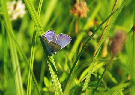 lycaenidae: Lycaenidae