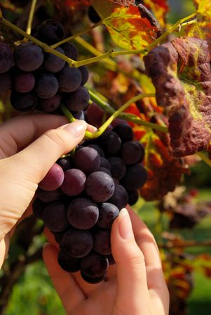 grape harvesting photo