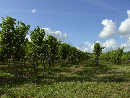 vineyard Stock Photo - 3147283