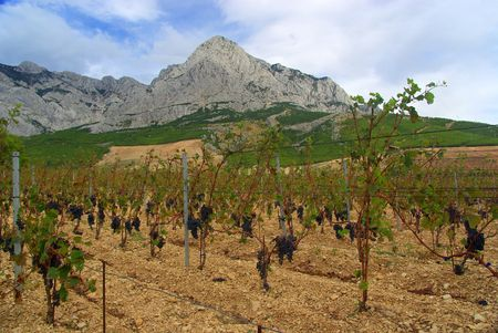 Далмация: new vineyard in Dalmatia Фото со стока