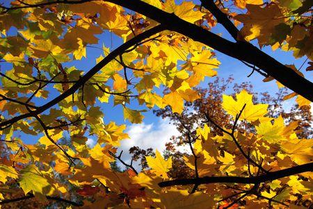 maple leaf photo