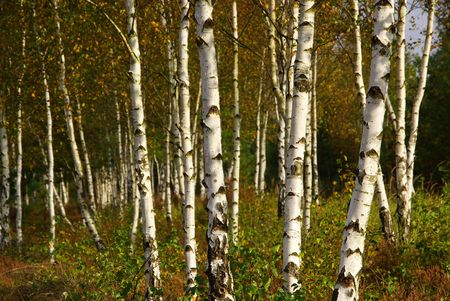 beautiful woodland: birch forest
