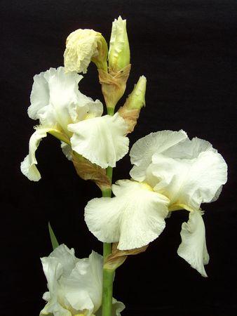 Iris, flower photo
