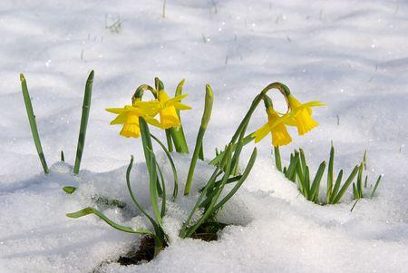 Narzisse im Schnee Standard-Bild - 2750937