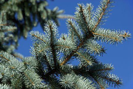 acuminate: fir branch Stock Photo