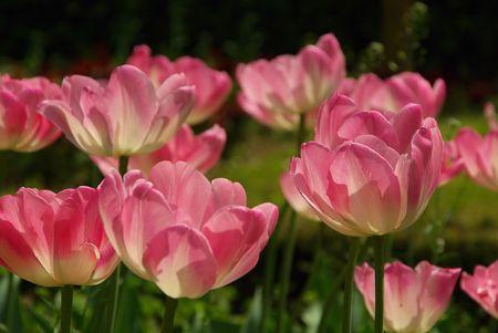 tulip 40 photo