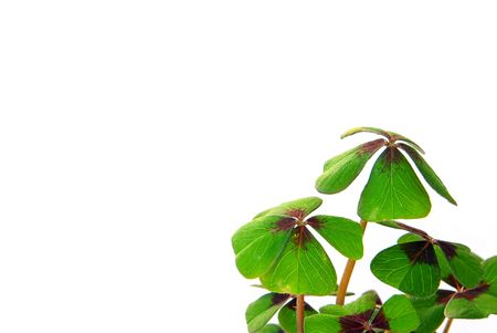 four leafed clover Stock Photo - 3186829