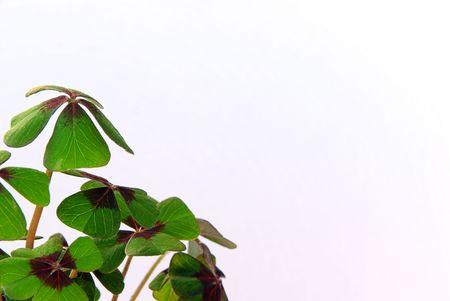 four leafed clover photo