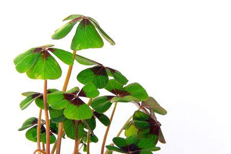 leafed: four leafed clover