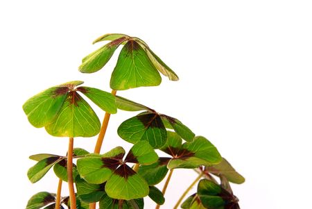 four leafed clover Stock Photo - 3215411