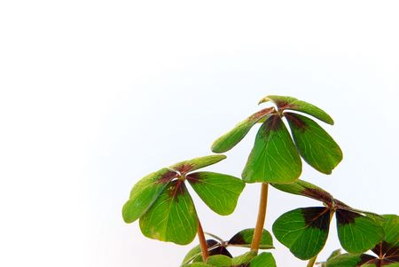 four leafed clover Stock Photo - 3280053