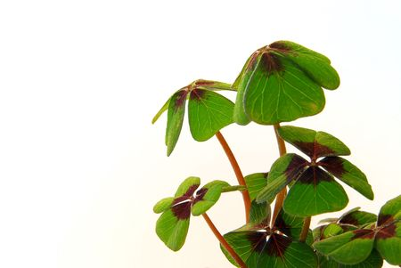 four leafed clover Stock Photo - 3213842