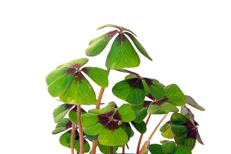 four leafed clover Stock Photo - 3196167