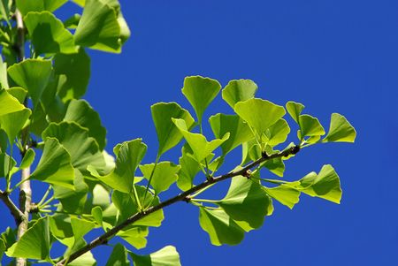 ginkgo Stock Photo - 3220593