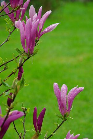 magnolia 08 Stock Photo - 3295972