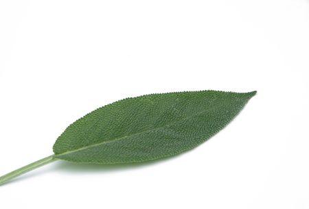sage leaf Stock Photo - 3295971