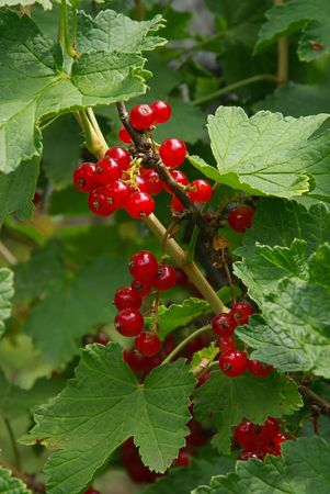 ribes: currant Stock Photo