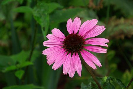 Purple Coneflower photo