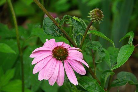 Purple Coneflower 03 photo