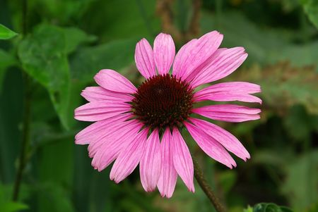 Purple Coneflower 04 photo