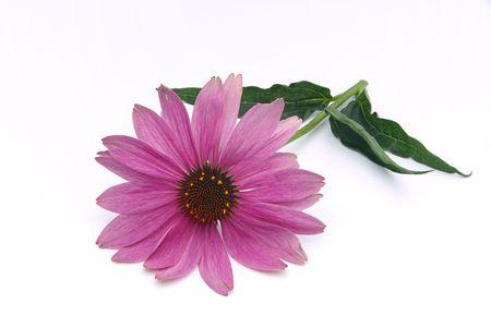 Purple Coneflower 10 photo