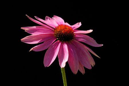 Purple Coneflower 11 photo