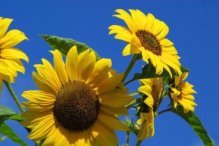 sunflowers 24 photo