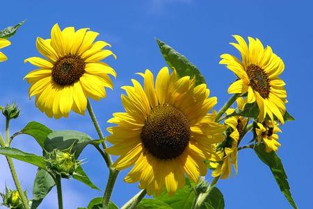 sunflowers 27 photo