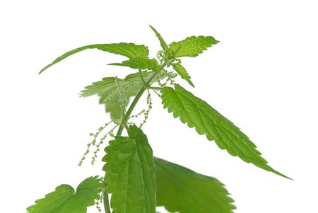 Brennessel - nettle 05 photo