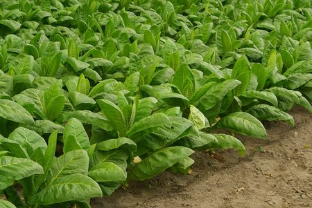 cultivated: cultivated Tobacco 07 Stock Photo