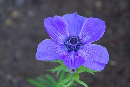 poppy anemone 01 photo