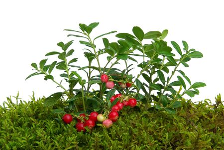 cowberry 01 photo