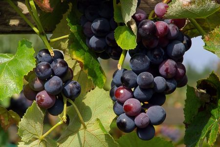 herbst: Wein - grape 20 Stock Photo
