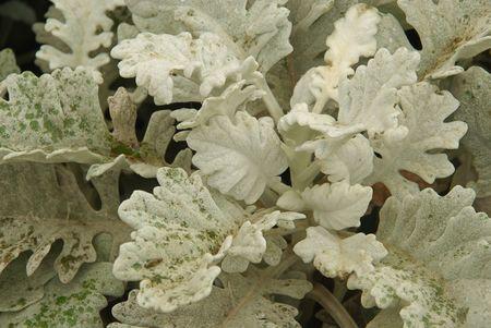 senecio: Silver ragwort 01