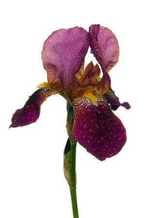 bearded iris: iris 35 Stock Photo