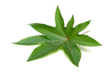 purgative: castor oil plant 13
