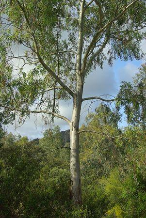 mountain ash: eucalyptus