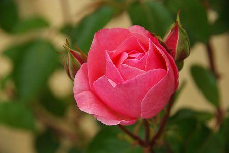 Rose 29 photo
