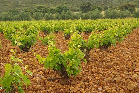 vineyard in olive grove 06 photo