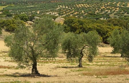 olive grove 07 photo