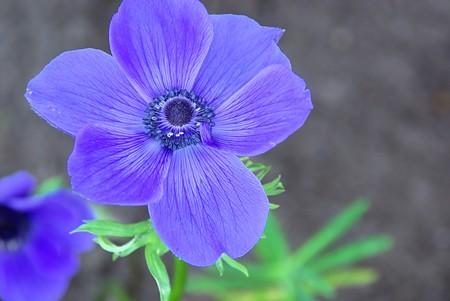 poppy anemone  photo