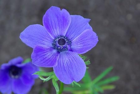 poppy anemone 07