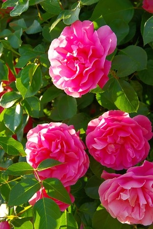Rose 37 photo
