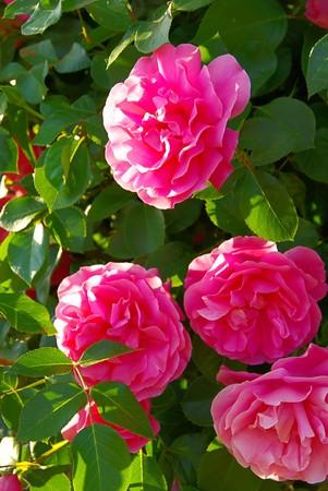 rambler: Rose 37