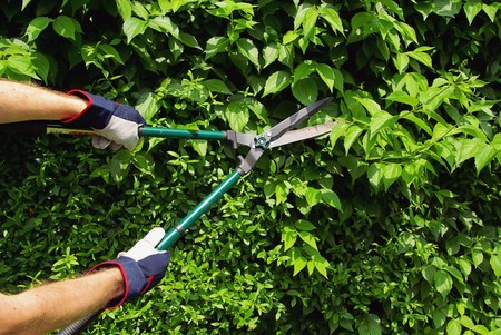 hedge plant: cut, hedge Stock Photo