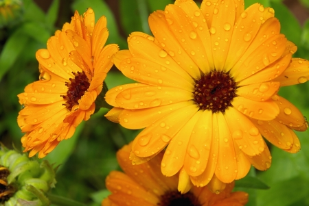 calendula 16 Stock Photo - 4214737