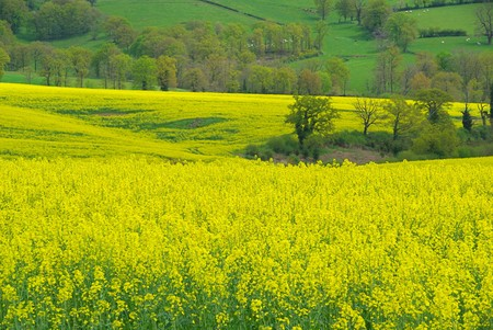 Rapeseed Stock Photo - 4379601